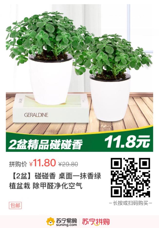 【苏宁】碰碰香 桌面一抹香绿植盆栽2盆 除甲醛净化空气