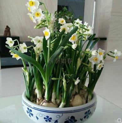 正宗漳州水仙花种球球根秋冬水培植物盆栽-买就送小球营养液