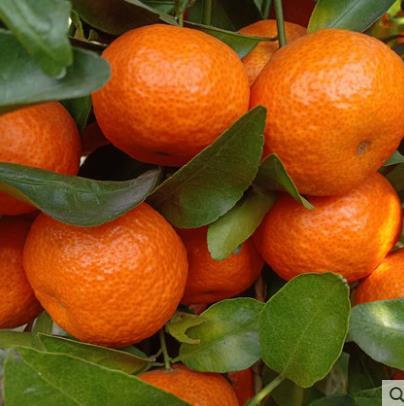 砂糖橘正宗桂林沙糖桔无核带箱包邮5斤