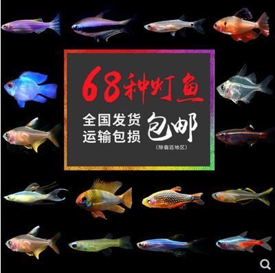 热带鱼、斑马鱼小型红绿灯科 5条