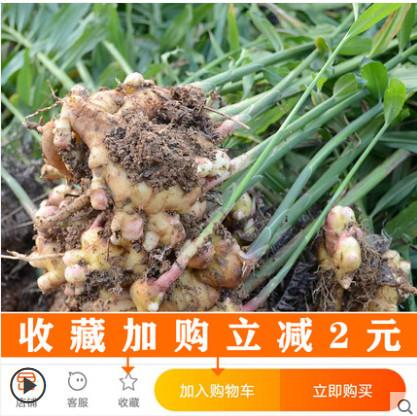 【现挖现发!】江西宜春正宗小黄姜3斤