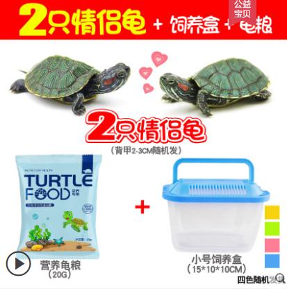 【过年不打烊】活泼情侣乌龟2只+龟粮+饲养盒